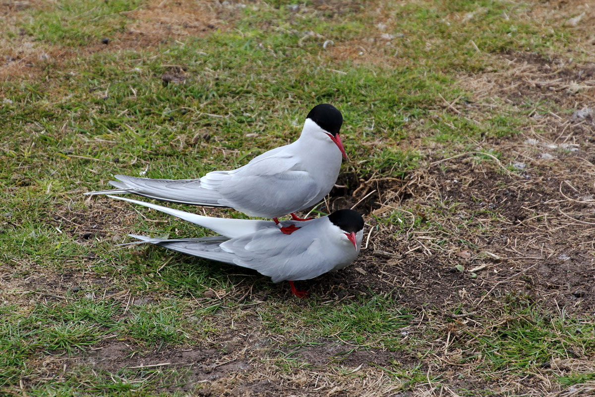 Arctic Terns doing what birds do during the mating season