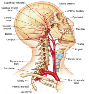 Muscles of the Head and Neck Flashcards | Easy Notecards