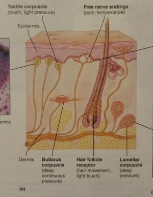 Activity 3: Examining the Microscopic Structure of a Nerve and the Structure of General Sensory