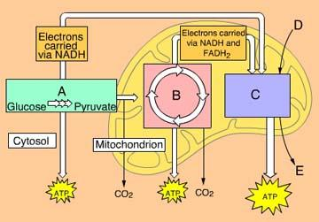 Chapter 9 Cellular Respiration And Fermentation