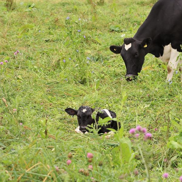 Baby Cow and Mother