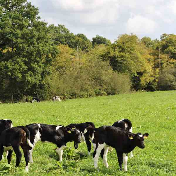 Free Range Cows at Cockhaise Organic Dairy Farm, Sussex