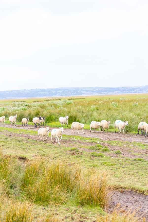 Welsh Salt Marsh Lamb