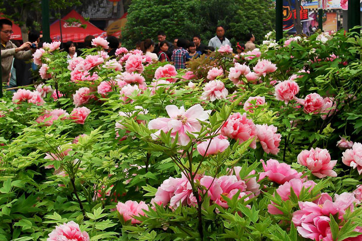 Luoyang Peony Fair 2013, the 31th Luoyang Peony Festival
