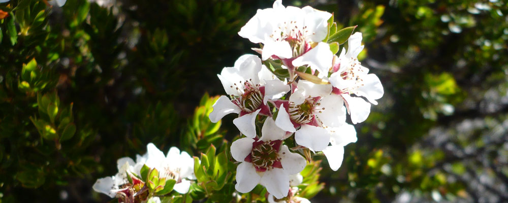 Highland Wild Flowers at Cradle Mountain