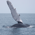 See Humpback Whales in Panama