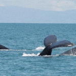 Whales spotted in the Pearl Islands