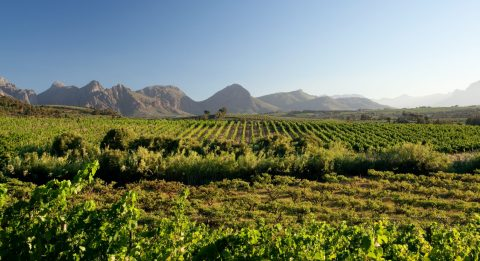 vineyards druk my niet sonia cabano blog eatdrinkcapetown