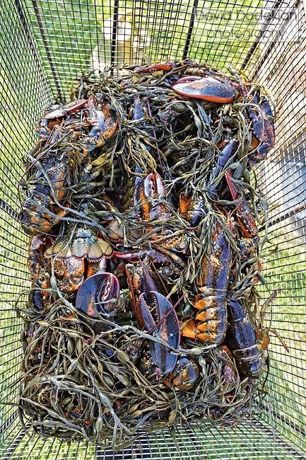 Lobsters with seaweed in the steaming crate