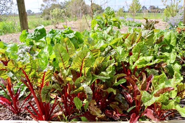 rhubarb from the O.My restaurant farm