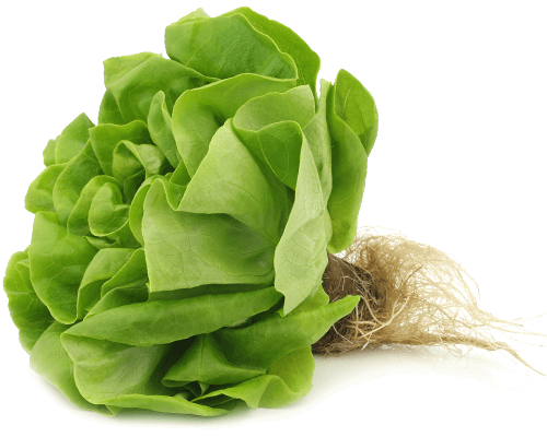 petes butter leaf lettuce