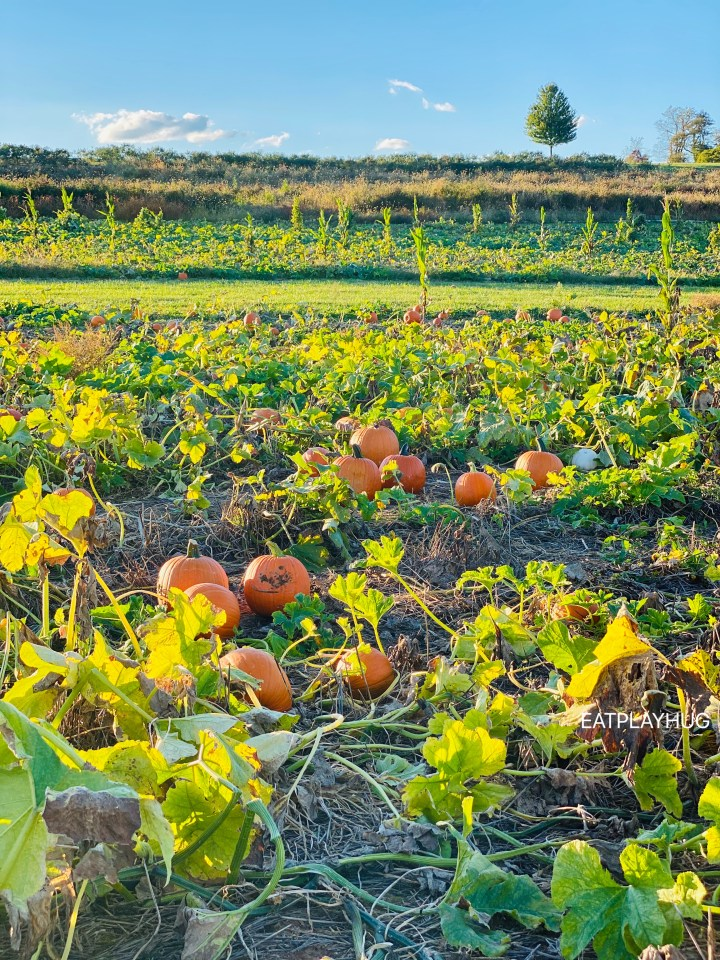 Pumpkin Patch @ Butler's Farm in Germantown, MD