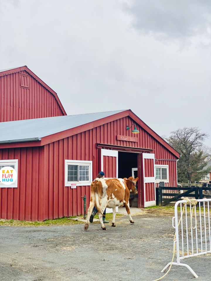 Cow with person in front of barn