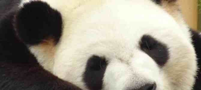 Falling in Love with the Giant Panda Cubs at the Toronto Zoo