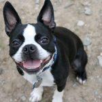 Boston Terrier Puppy Training And Breed Information Eatsleepwalk