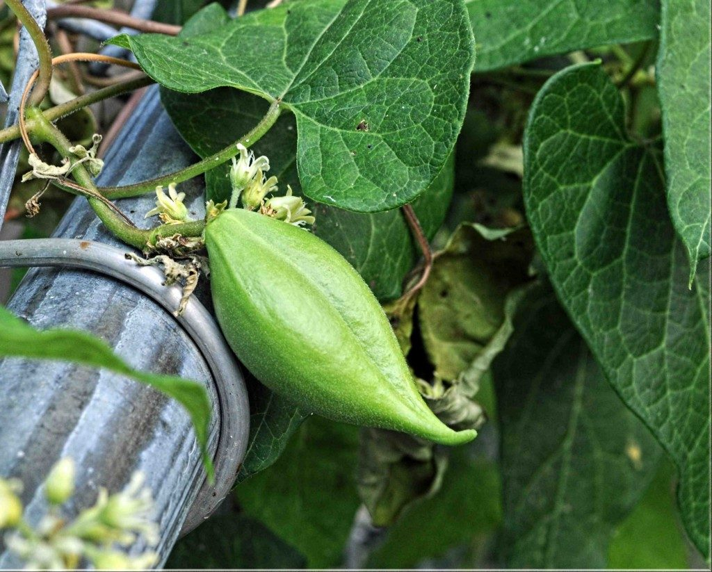 Pods Large Seed Weeds