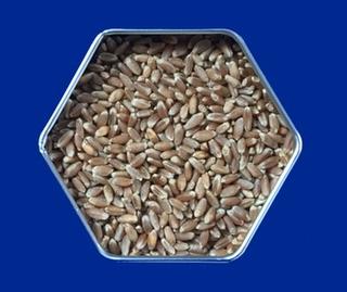 Turkey red wheat seeds