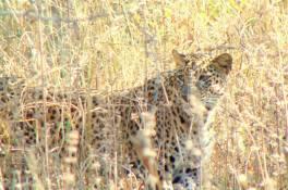 Leopardy hi!