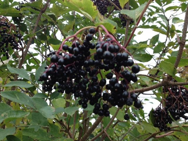 Elderberries ready to be picked