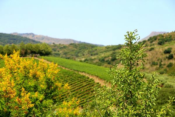 Sicilian vineyards