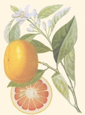 Pamplemousse illustration antique