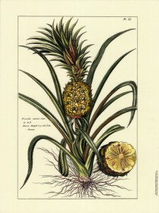 Pierre-Joseph Buchoz pineapple print