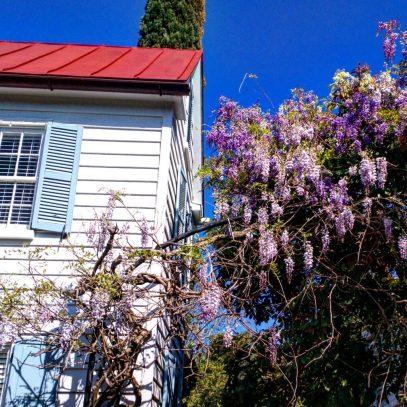 wisteria in Charleston