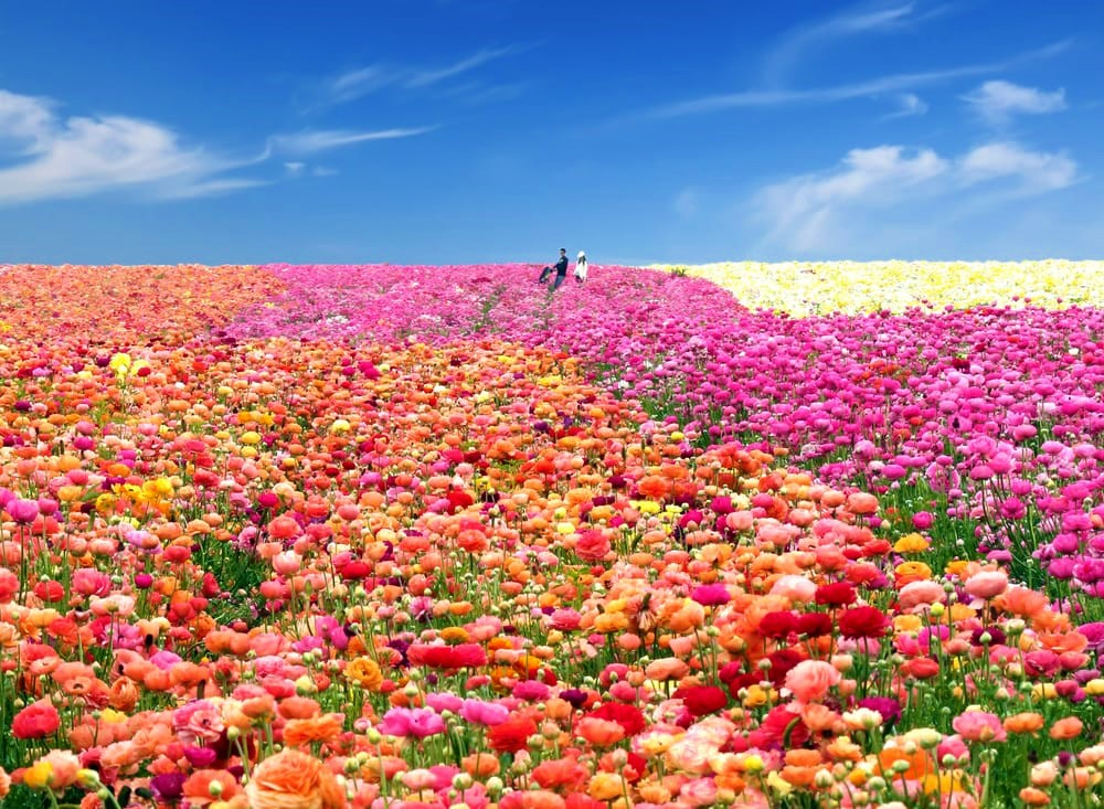 San Diego Flower Fields At Carlsbad Ranch U2013 California