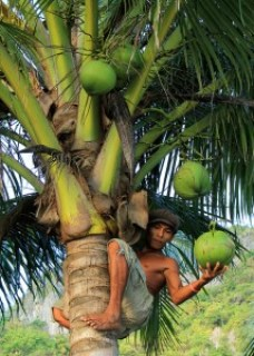 Coconut Picker at Seven Commandos Beach