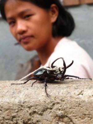Pet Rhinoceros Beetle