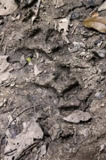 Malayan Tiger Tracks