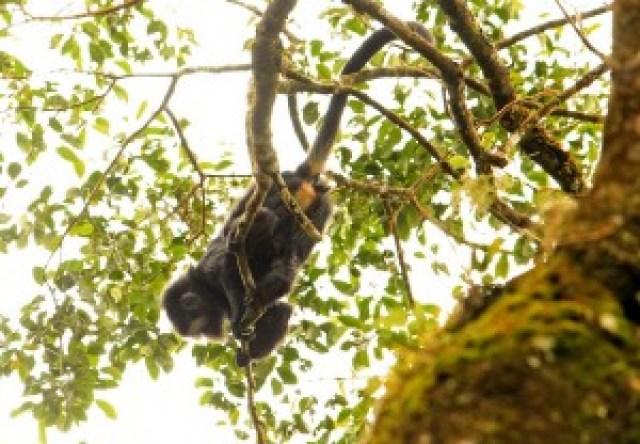 Javan Lutung (Ebony Leaf Monkey)