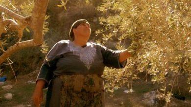 صورة موسم الزيتون في برجا… موسم البركة