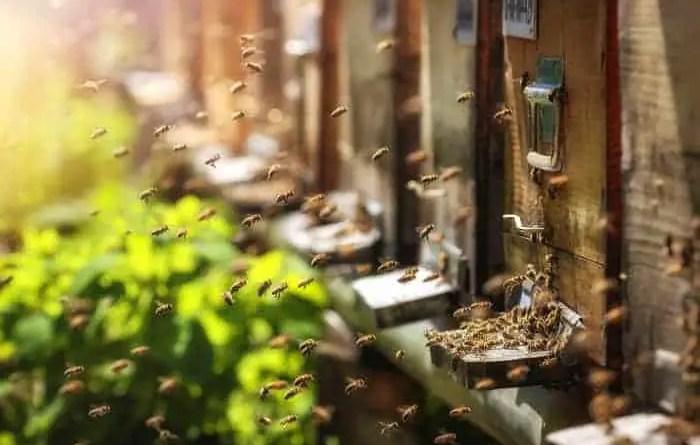 Raising Honey Bees | Benefits of Raising Honey Bees
