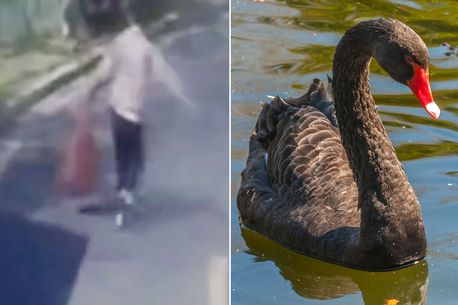 Man apprehended in China for 'thieving black swan from the park and using it to make soup'