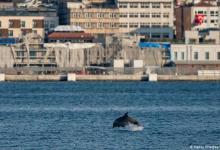 eblue_economy_Covid 19 تعيد الدلفين إلى مضيق البوسفور!
