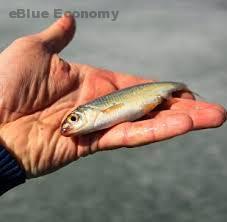 eBlue_economy_سمكة_شفافة