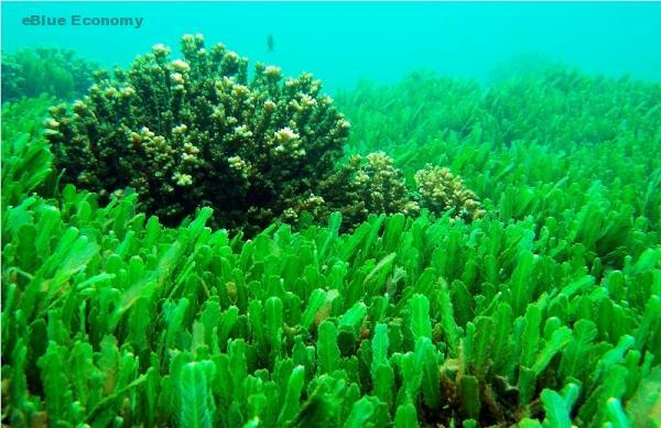 eBlue_economy_فوائد مذهلة للطحالب البحرية تعرف عليها