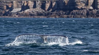 eBlue_economy_في مشهد نادر.. عشرات الحيتان الحدباء تحاصر قاربا في المحيط (فيديو)
