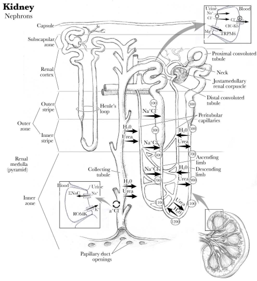 Anatomy Kidney Renal Artery Renal Vein And Ureter