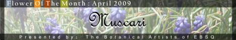 Online Art Exhibit:Flower of the Month: Muscari