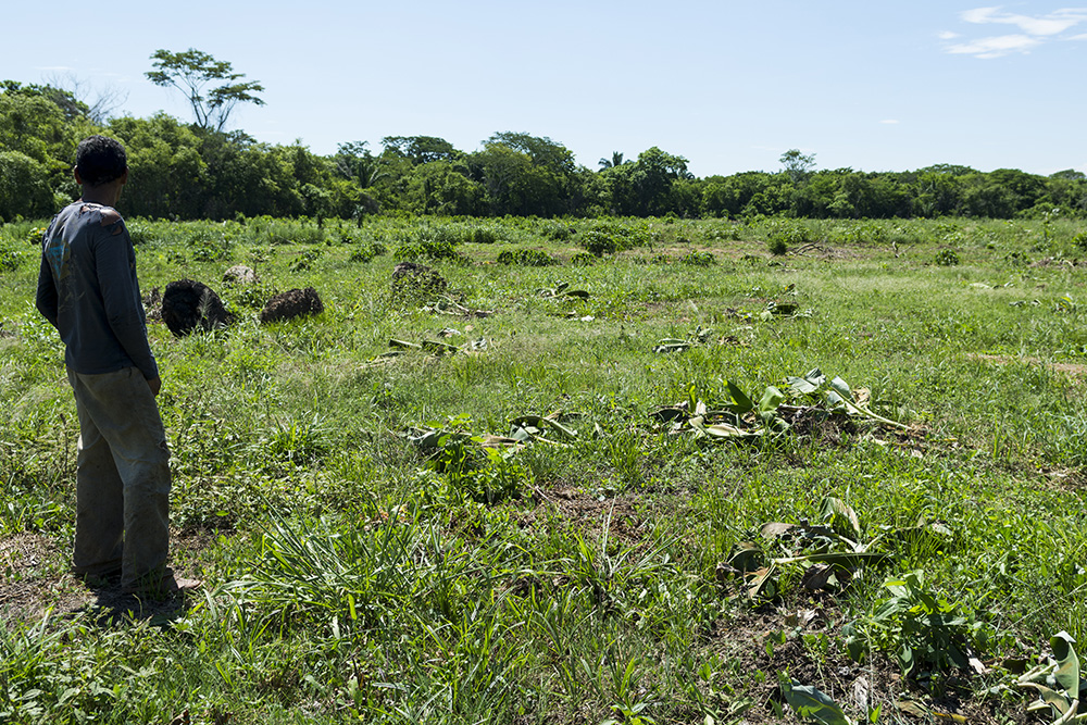 A Las Pavas farmer looks over his field of plantain trees chopped down by Aportes San Isidro security in June 2015. Photo: Caldwell Manners