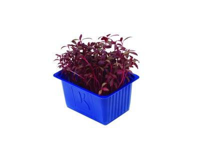 Scarlet Cress – crescione alla barbabietola rossa