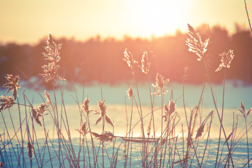 28458-Reeds-In-The-Sun