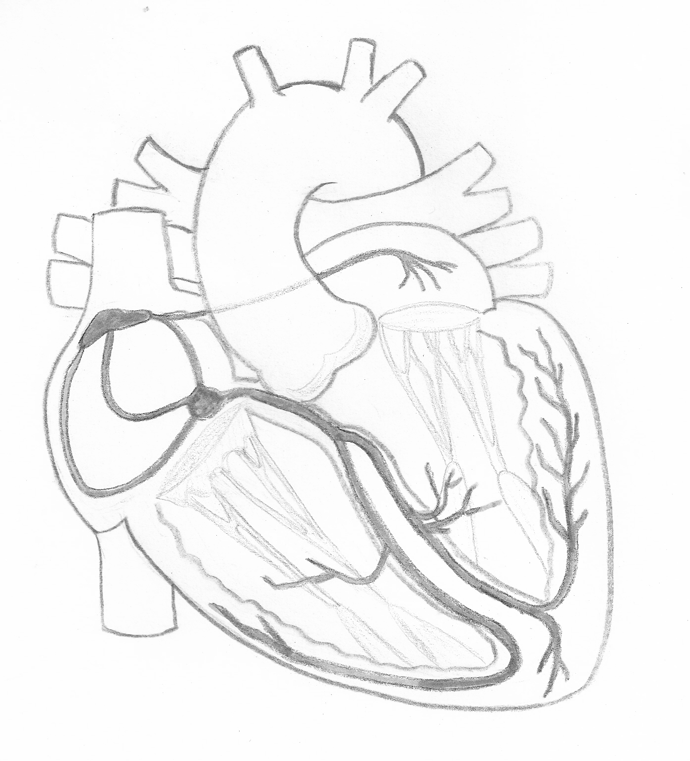 Cardiac Conduction System Illustration