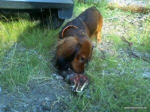 Alf med sin klöv