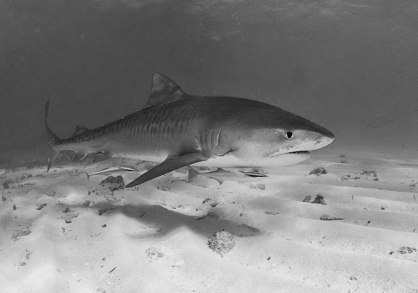 """tiger shark"" by AlKok is licensed under CC BY-NC-SA 2.0"