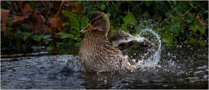 Mallard, Female Mallard, Mallard splashing, Mottisfont Abbey, duck, duck splashing, duck bathing