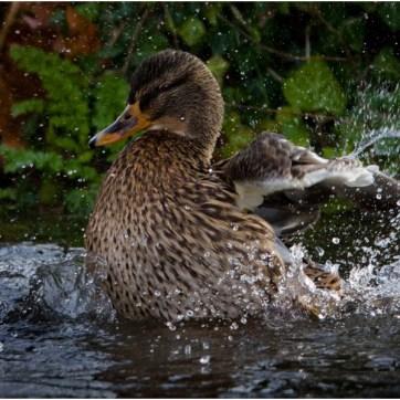 Mallard, Female Mallard, Mallard splashing, Mottisfont Abbey, duck, duck splashing, duck bathing