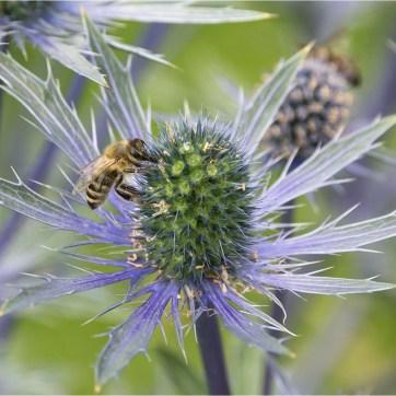 Spikey Blue Eryngium, Eryngium, Blue Flower, Blue spikes, product photography, still life photography, Spikey flower, Flower photography, Spikey Blue Eryngium with slate back ground, Honey bee, Bee on Spikey Eryngium